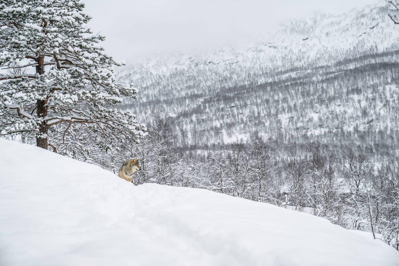 rencontre avec des loups, loups taïga, loups norvège, passion des loups, documentaire loups, photos de loups, photos loups, loups en photo