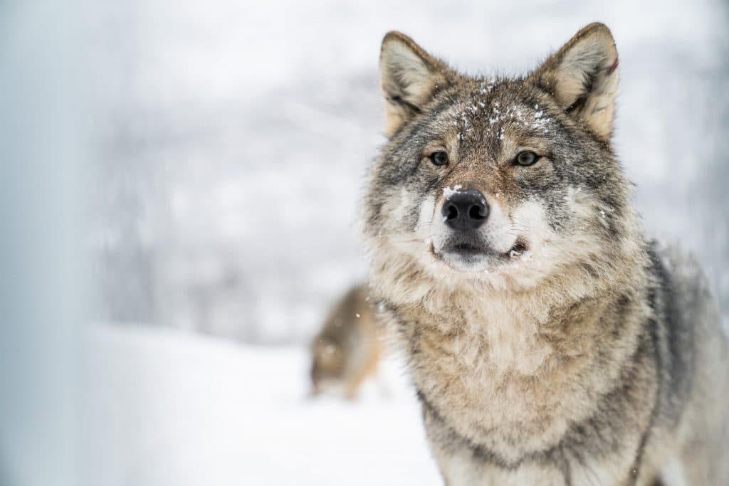 Rencontre avec des loups  Exemplaire