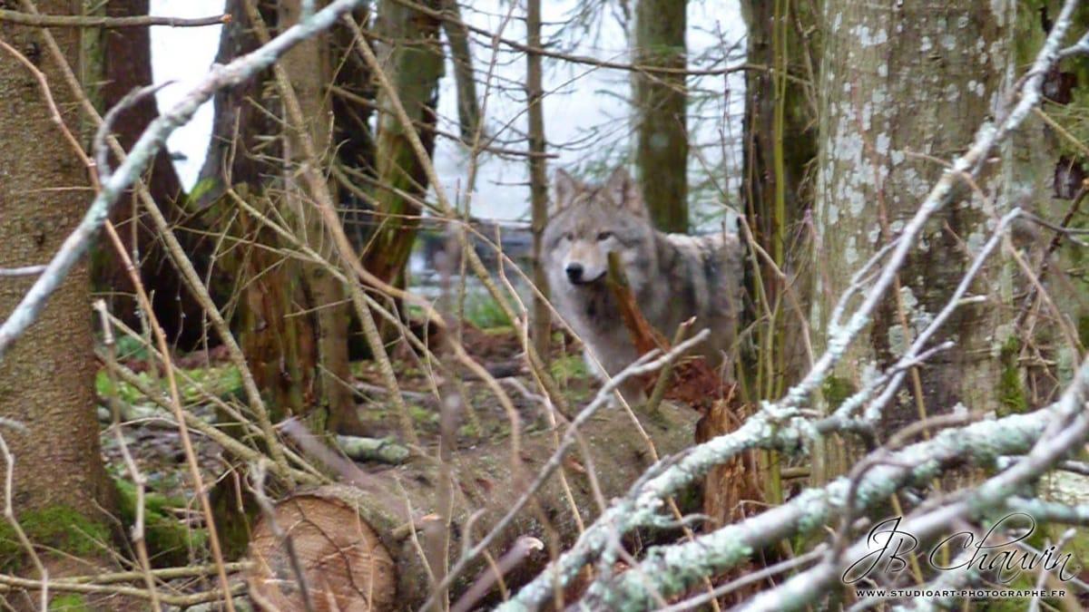 rencontrer des loups