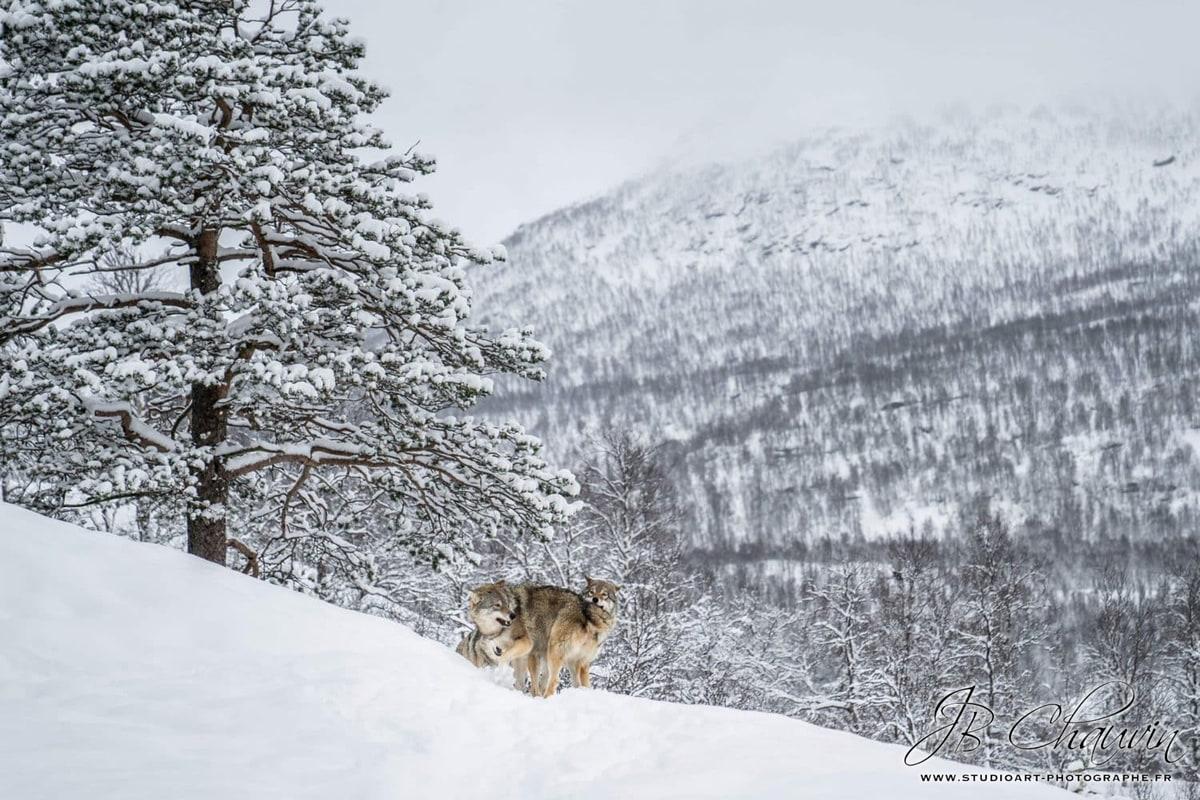 Rencontre avec des loups photographe